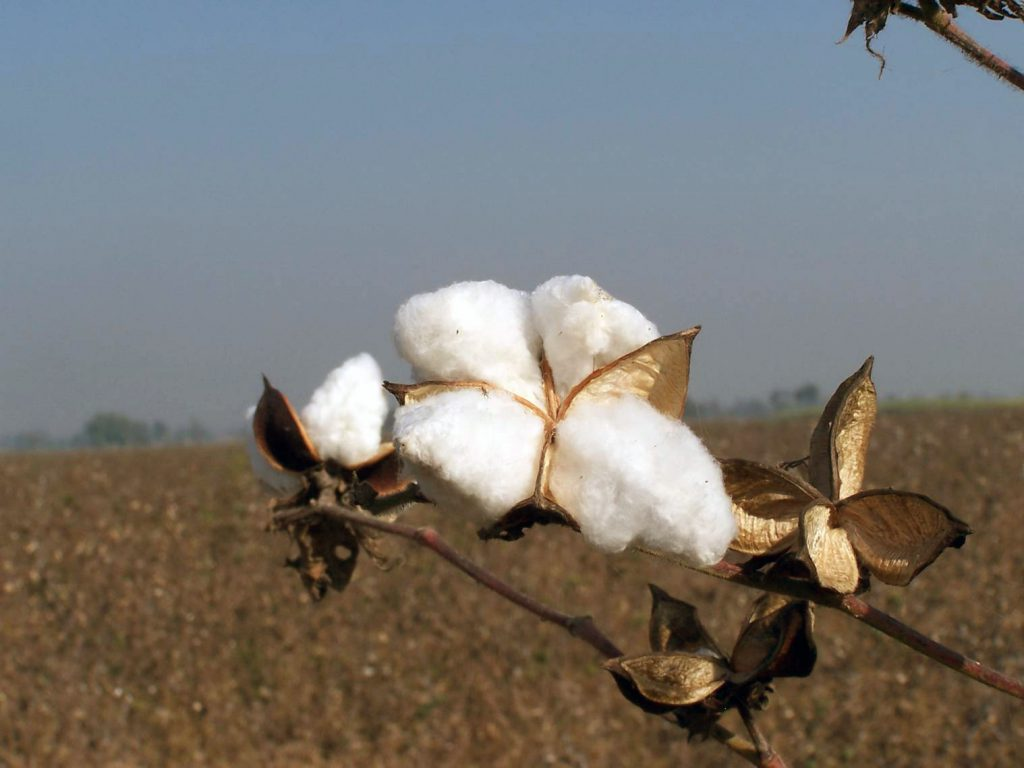 Plan de coton BCI (Better Cotton Initiative)